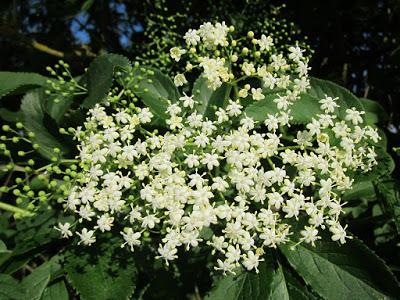 sambucus-nigra-846591_1280[1]