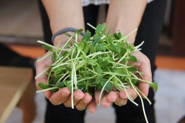 klíčení semen